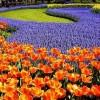 Цветочная феерия Койкенхофа